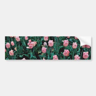 Tulipanes tempranos, flores rosadas etiqueta de parachoque