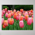 Tulipanes, tulipanes, tulipanes poster