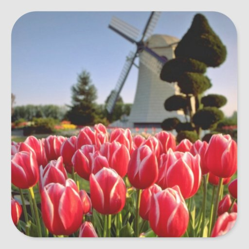 Tulipanes y flores rojos rojos del molino de calcomanías cuadradas personalizadas