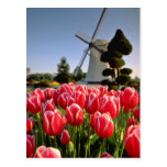 Tulipanes y flores rojos rojos del molino de vient postal