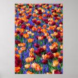 Tulipanes y jacintos de uva posters