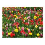 Tulipanes y narcisos coloridos tarjeta postal