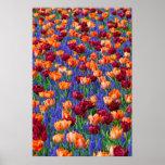 tulipanes y poster de los campos de flor de la