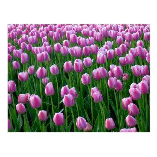 Tulips 14 Postcard