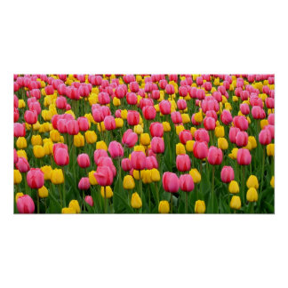 Tulips 1 Poster