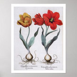 Tulips: 1.Tulipa globosa serotina cinnabrio colore Posters