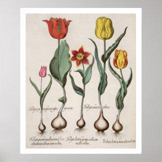 Tulips: 1.Tulipa lutea maculis rubens; 2.Tulipa au Poster