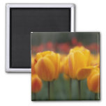 Tulips 2 2 inch square magnet