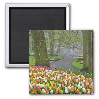 Tulips and roadway, Keukenhof Gardens, Lisse, Fridge Magnet