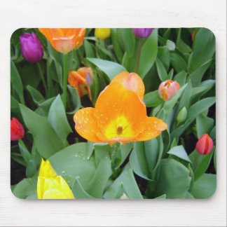 Tulips at the Eden Project, Cornwall, UK Mouse Pad