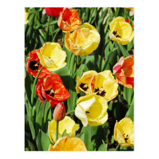 Tulips bed postcard