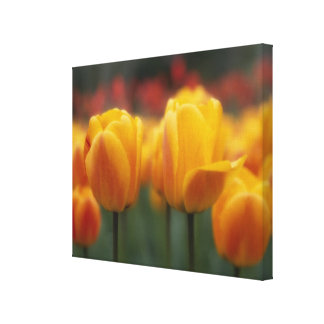 Tulips Stretched Canvas Prints