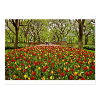 Tulips Central Park NYC Postcards