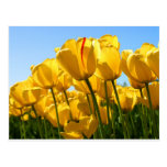 Tulips Collection Postcard