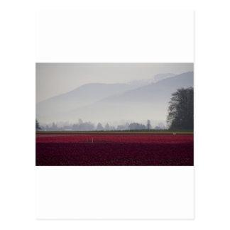 Tulips Fields in the Morning Light.jpg Postcard