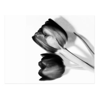 Tulips Fine Art Photography in Black and White Postcard