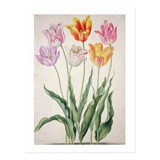 Tulips, from the 'Nassau Florilegium' (w/c on pape Postcard