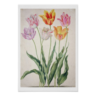 Tulips, from the 'Nassau Florilegium' (w/c on pape Poster