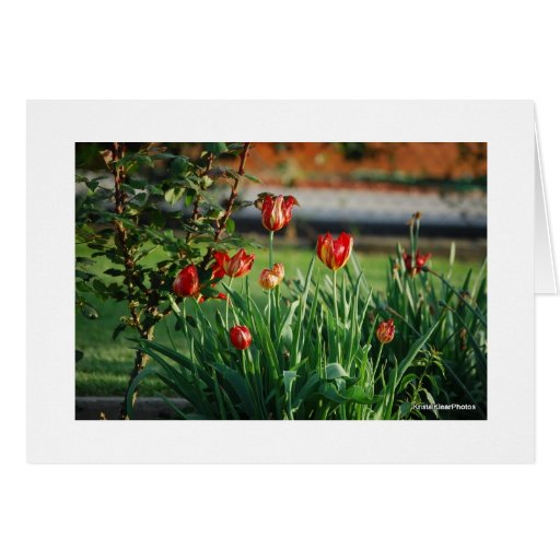 tulips in bloom card