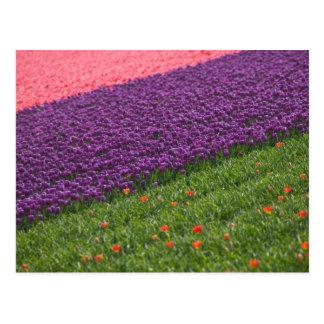 Tulips in Keukenhof Gardens, Amsterdam, 3 Postcard