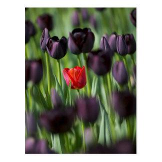 Tulips in Keukenhof Gardens, Amsterdam, Postcard