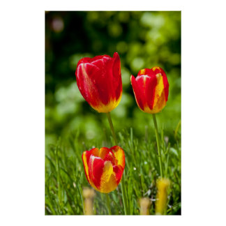 Tulips in Spring Posters