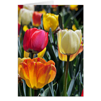 Tulips in the Sun Greeting Cards