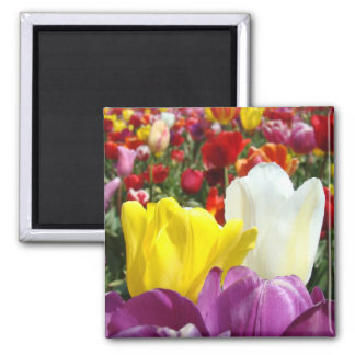 Tulips magnets Tulip field colordul Floral