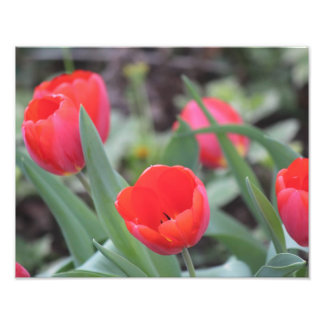 Tulips Print for Spring! Art Photo
