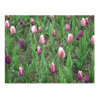 Tulips Purple Flowers Postcard