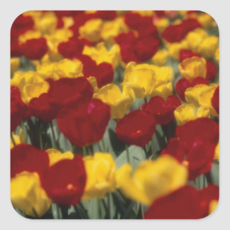 Tulips Square Sticker