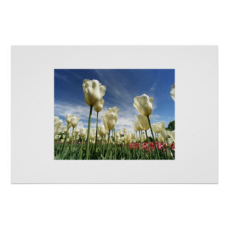 Tulips Touching the Sky Poster