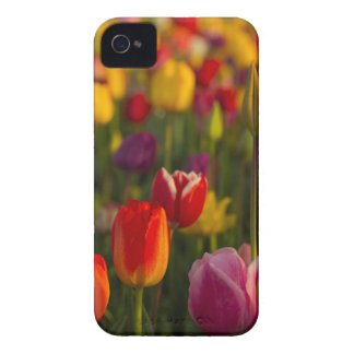 Tulips, Tulip Festival, Woodburn, Oregon, USA 2 iPhone 4 Cover