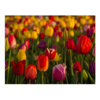 Tulips, Tulip Festival, Woodburn, Oregon, USA 2 Postcard