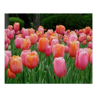 Tulips, tulips, tulips print
