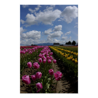 Tulips under a blue sky poster