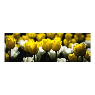 Tulips Yellow And White Photo Print