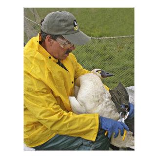 Tundra Swan - Banding Flyer