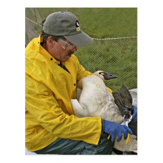 Tundra Swan - Banding Post Cards