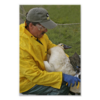 Tundra Swan - Banding Posters