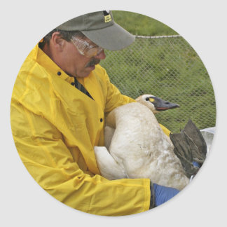 Tundra Swan - Banding Round Stickers