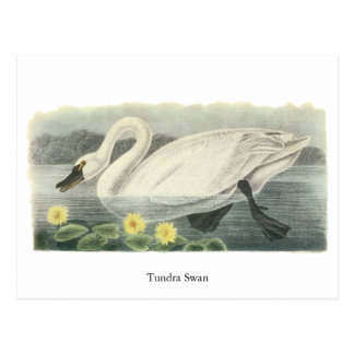 Tundra Swan, John Audubon Postcard