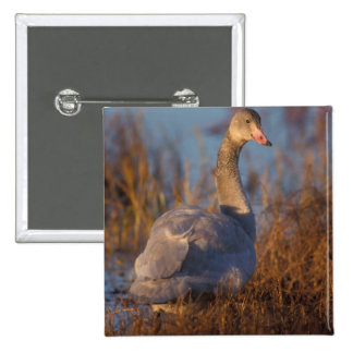 Tundra Swan or Whistling swan nesting, 1002 2 Inch Square Button