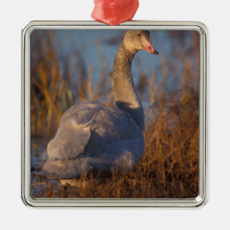 Tundra Swan or Whistling swan nesting, 1002 Christmas Ornament