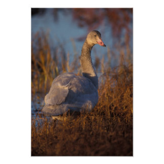Tundra Swan or Whistling swan nesting, 1002 Poster