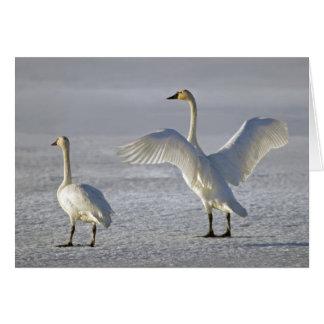 Tundra Swans (Cygnus columbianus) Card