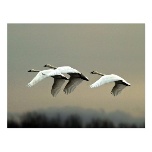Tundra Swans Postcard