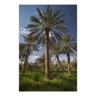 Túnez, área de Ksour, Ksar Ghilane, palma datilera Cojinete