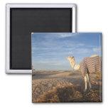 Túnez, desierto del Sáhara, Douz, gran duna, camel Imán De Frigorifico
