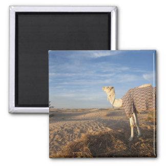 Túnez, desierto del Sáhara, Douz, gran duna, camel Imán Cuadrado